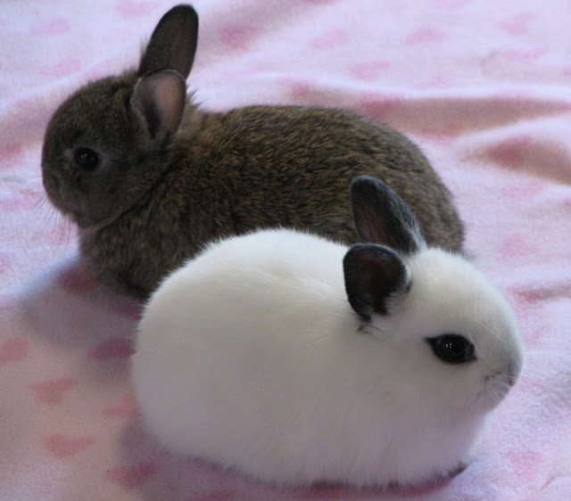 Dwarf Hotot Babies  (Please turn on images, they're SO CUTE!)
